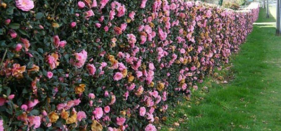 Живая изгородь: что посадить?